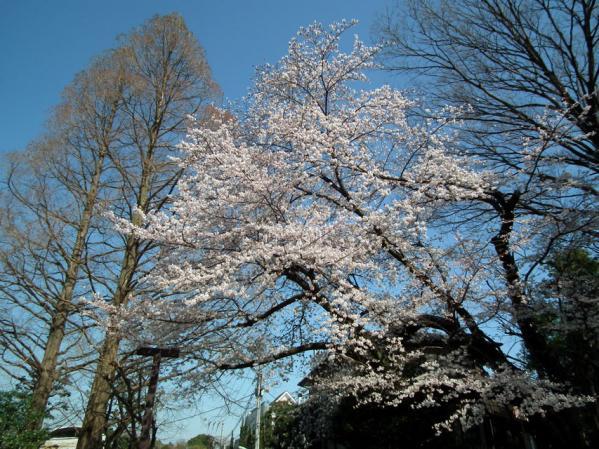 多摩川台公園の桜