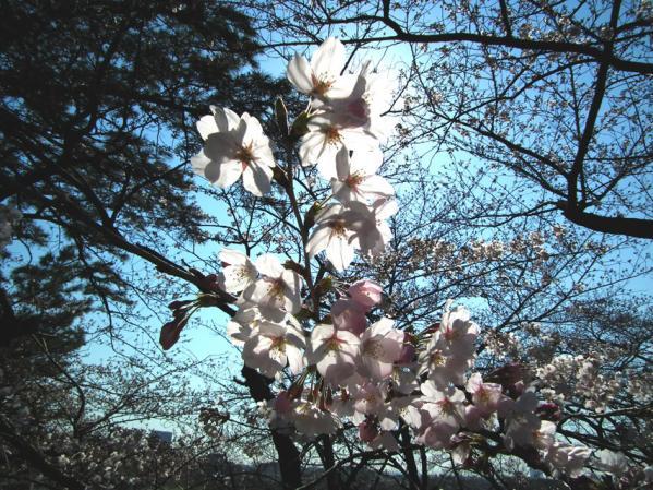多摩川台公園 日を浴びる桜の花びら
