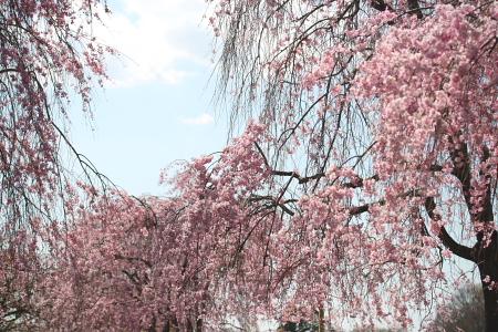 IMG_10482010 桜 9