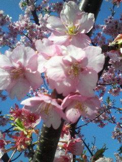 kawazu-cherry.jpg