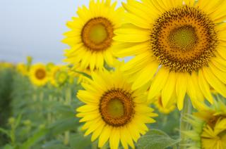 sunflower_39.jpg