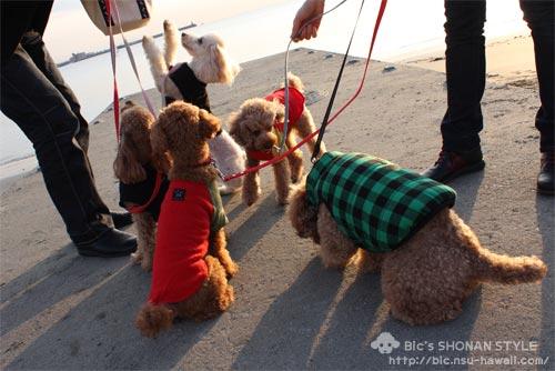 トイプードル,犬,逗子,湘南