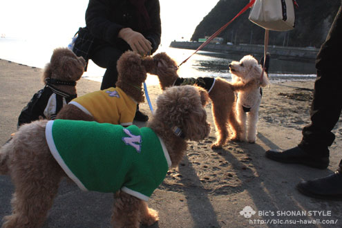 犬,逗子,湘南,トイプードル
