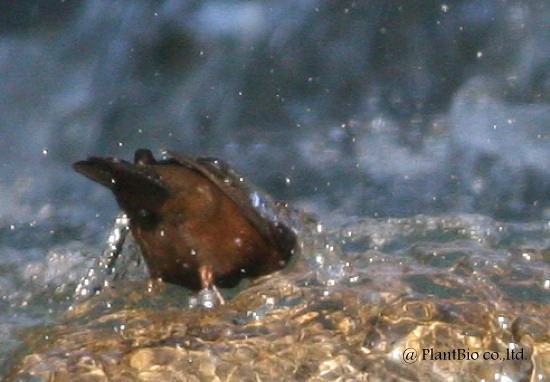 カワガラス潜水