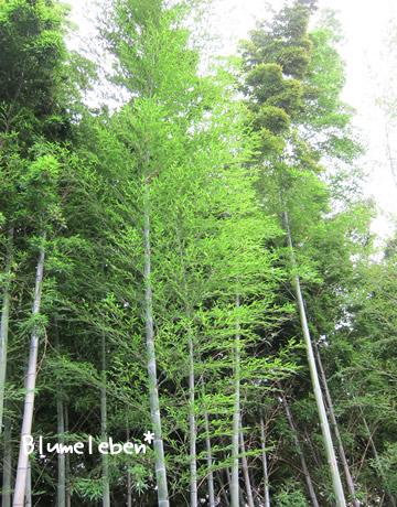 今年のタケノコが育った若い竹