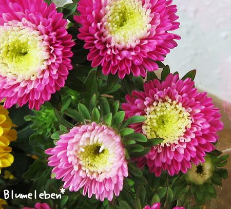 八重咲きアスター 濃いピンク