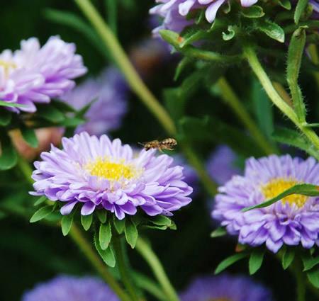 アスター 薄紫