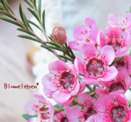 ワックスフラワー ピンク赤目