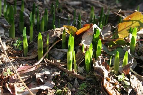 水仙が芽を出しました