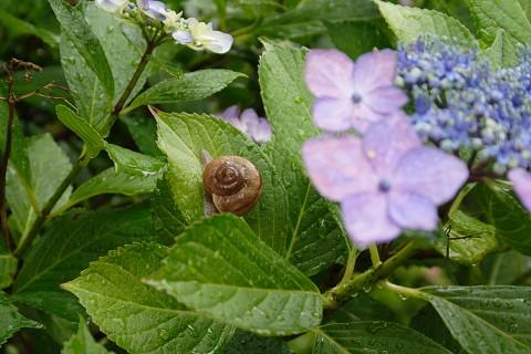 紫陽花と蝸牛 その2