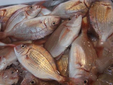 1030小鯛