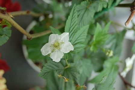 フランボワーズの花