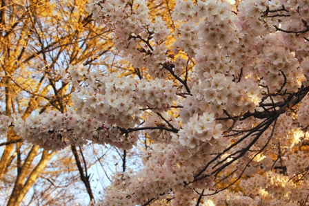 sakura2011_1.jpg