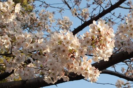 sakura2011_3.jpg
