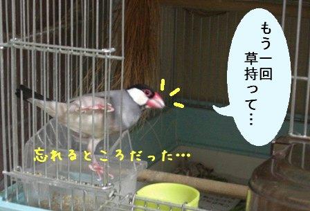 文鳥 038