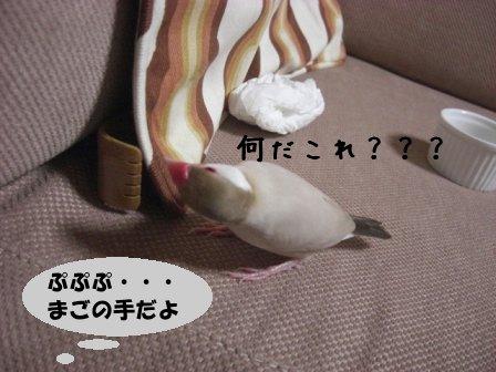文鳥 015