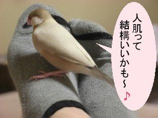 文鳥 024