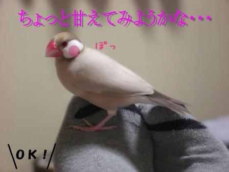 文鳥 025