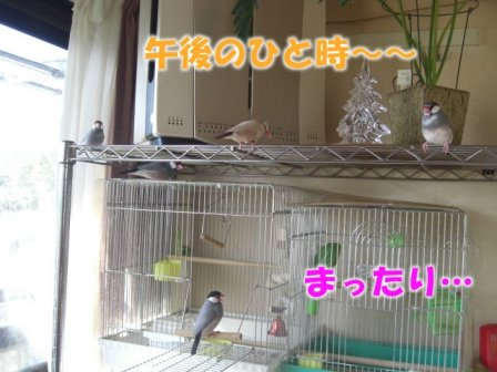 文鳥 041