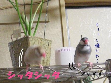 文鳥 012