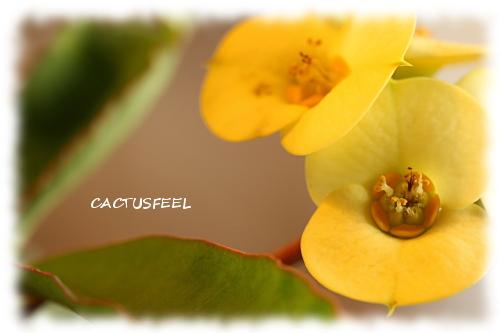 花キリン1115-1