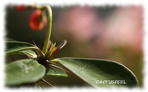 花キリン赤1117-2