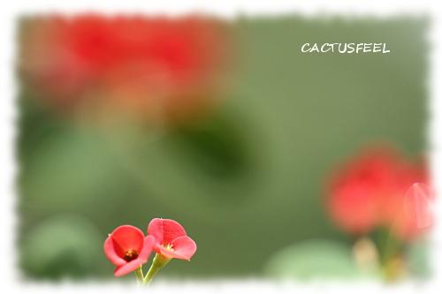 花キリン赤1117-1