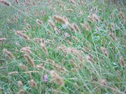 えのころ草