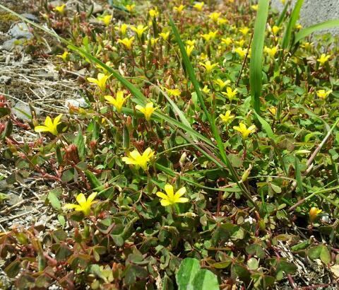 幸せの黄色花