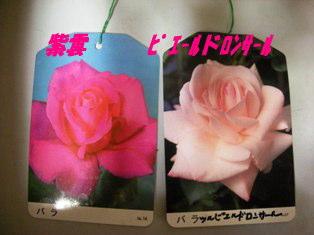 ままのバラ こんなお花です