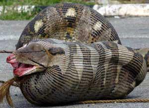python_sheep.jpg