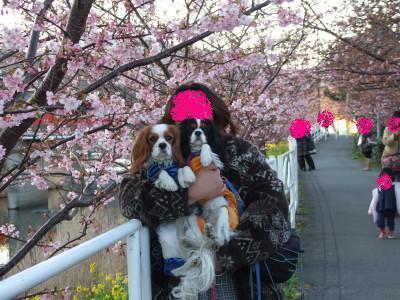 初めての河津桜