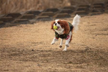 ラムちゃん、ボール遊び楽しそう