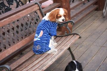 プードルが怖くてベンチにすわるチャコ