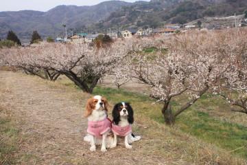 梅の花とチャコ&エリー