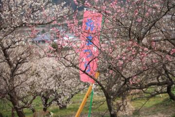 梅まつりの旗