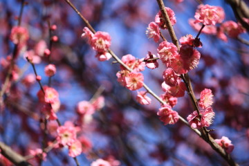 梅の花にメジロが遊びにきていました