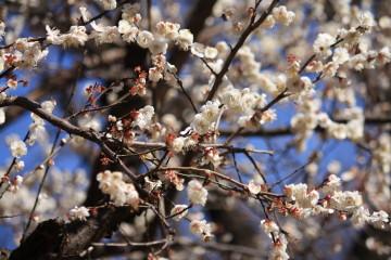 梅の花良い香り