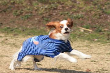 チャコ、嬉しそうに走る
