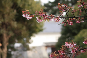 小田原城跡公園のかんざくら