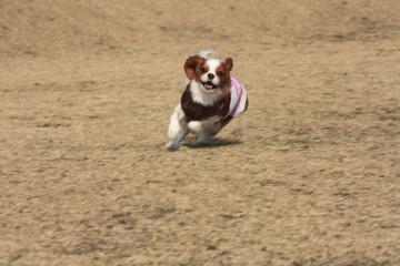 チョコちゃん、楽しそうに走る