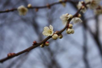 白梅が咲いていました