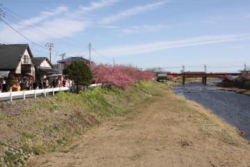河津川沿いに河津桜の木がいっぱい