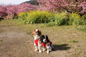 菜の花と河津桜の前で・・・