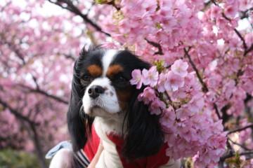 河津桜とエリー