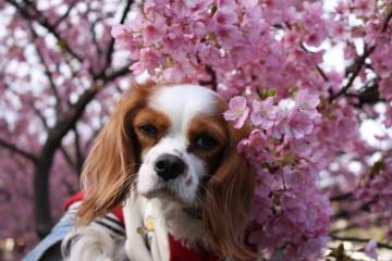 河津桜とチャコ