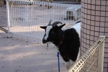 麻溝公園、ふれあい動物広場、ヤギ