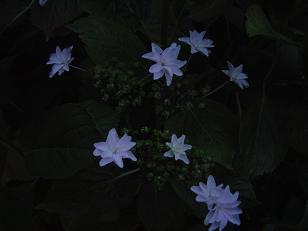 hanabiajisai1.jpg