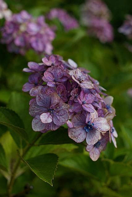 日照りの紫陽花
