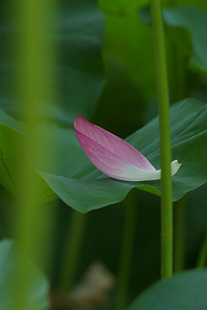 一片の花弁